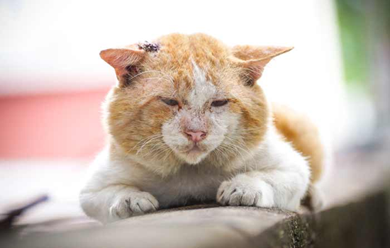 Tratamiento de hongos en gatos