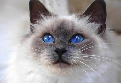 las-razas-mas-bonitas-de-gatos