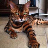 Las razas mas bonitas de Gatos