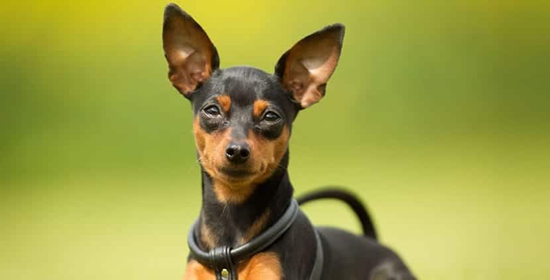 Cuidados del perro de raza Pinscher