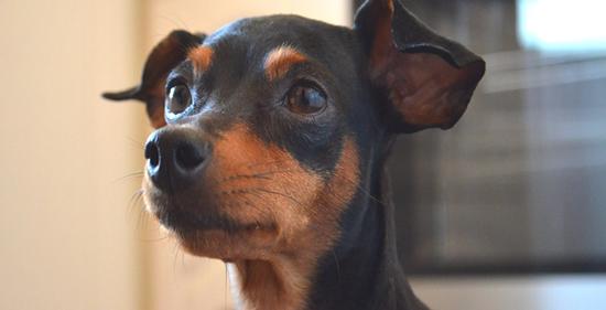 Perro de raza Pinscher