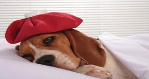 Picazon en las orejas del cachorro