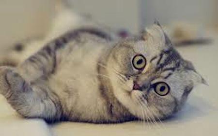 raza-de-gato-fold-escoces