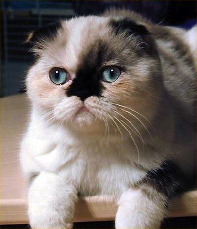 raza-de-gato-foldex