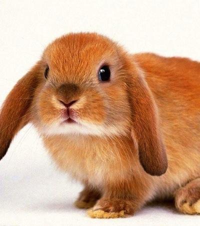 razas-de-conejos-y-sus-caracteristicas-2