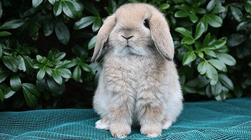 El conejo toy o enano