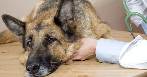 tumores-mamarios-en-caninos