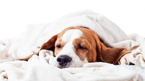 Cómo prevenir un cólico en mi perro