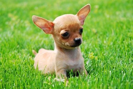 Cuida de la dentadura del Chihuahua
