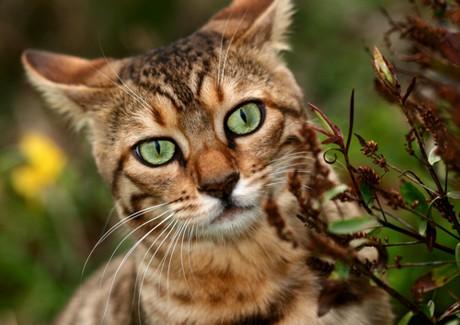 Cuidados del Gato Bengali2 Cuidados del Gato Bengalí