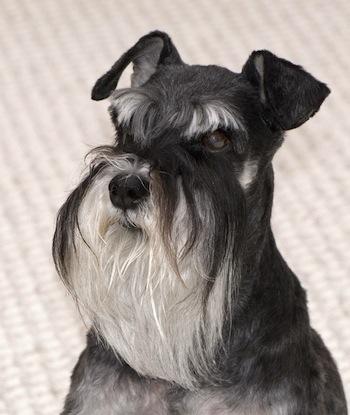 Cuidados del Perro de raza Schnauzer  Cuidados del Perro de raza Schnauzer
