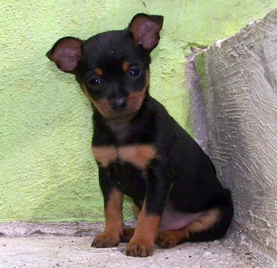 Cuidados del perro Pinscher Miniatura