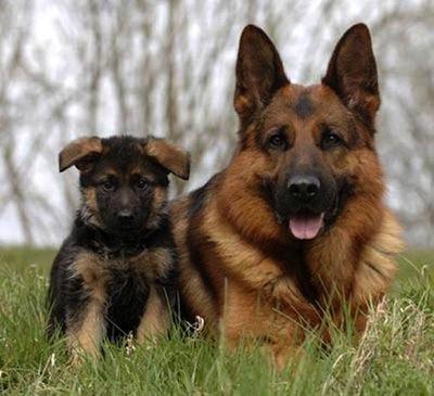 El perro Pastor Aleman y su salud  El perro Pastor Alemán y su salud