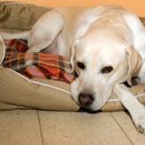 La Ecografía en una perra preñada
