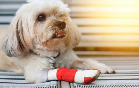 Pododermatitis en perros