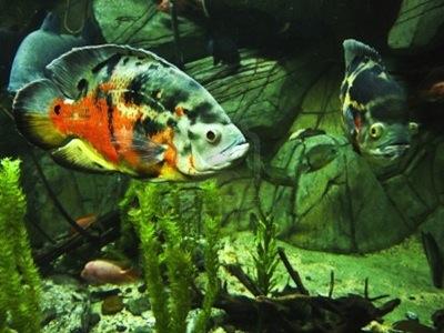 Peces de agua dulce for Enfermedades de peces de agua fria