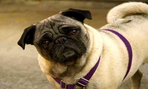 El perro Pug Carlino