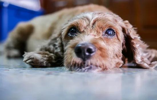 Cataratas en perros