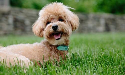 Cuidados del Caniche o Poodle