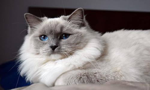 El gato Ragdoll de pelo largo