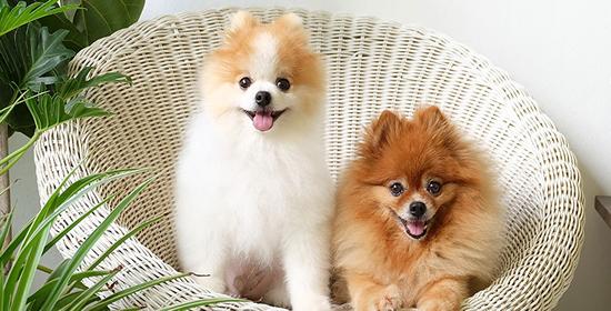 Cuidados del Perro Pomerania